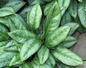 L'aglaonéma, une plante dépolluante