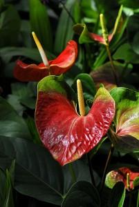 L'anthurium comme plante depolluante