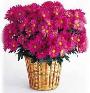 Le chrysanthème est une plante dépolluante