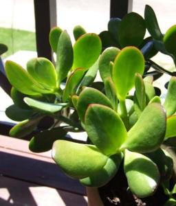 La crassula comme plante dépolluante