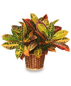 Le croton est une plante dépolluante