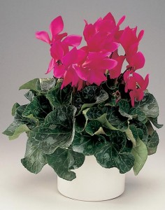 Le cyclamen est une plante depolluante