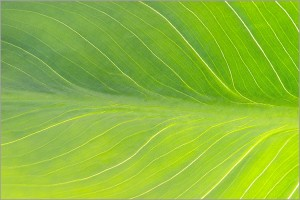La photosynthèse grâce aux feuilles
