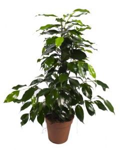 Le ficus benjamina est une plante dépolluante