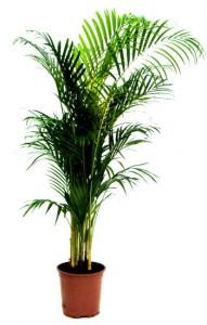 Palmier Areca comme plante dépolluante