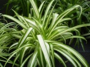 La plante araignée comme plante dépolluante