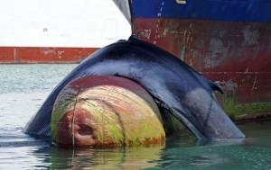Image rapportée par une sentinelle du cadavre d'une baleine sur la proue d'un bateau a marseille le 2 juin 2012