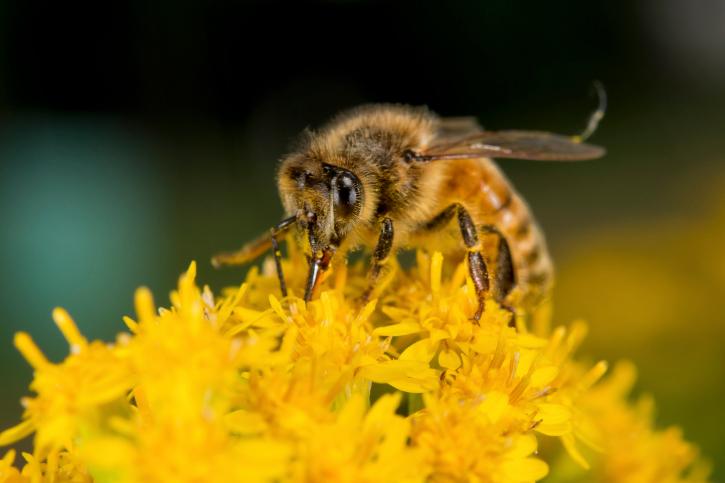 abeille-abeilles