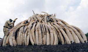 1053837-a-kenya-wildlife-service-ranger-stacks-elephant-tusks-on-a-pyre-near-nairobi