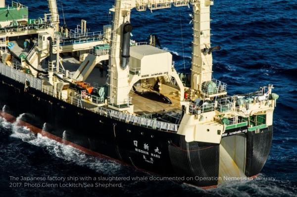 Le Misshin maru, un baleinier japonais qui a subit les foudres de Sea Shepherd lors de la campagne 2015