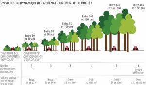 Exemple du nombre de passages (ici 14) et du volume prélevé dans une parcelle tout au long de la vie du peuplement (Chênaie continentale, Fertilité 1, Sylviculture dynamique)