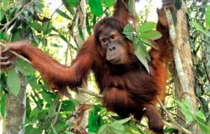 ette population isolée, découverte en 1997 dans la forêt de Batang Toru au Nord de l'île de Sumatra, a été à l'époque considérée comme faisant partie de la sous-espèce des orangs-outans de Sumatra (Pongo abelii). Ce n'est que suite à l'étude du squelette d'un mâle tué en 2013 que l'hypothèse de la spécificité de ces orangs-outans a été émise. L'examen du crâne et des dents, en particulier, a permis de mettre en avant des caractéristiques uniques les distinguant ainsi de leurs cousins.