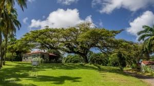 LE ZAMANA DE L'HABITATION BELLEVUE. ZAMANA OU SAMANEA SAMAN MINOSACÉÉS Martinique