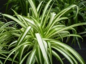 La plante araignée n'a pas un besoin important en lumière et en humidité. Ses capacités dépolluantes sont remarquables concernant : Monoxyde de carbone, Benzène, Formaldéhyde, Toluène, Xylène