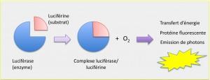 schema-bioluminosite